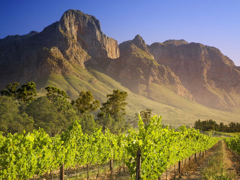 Vineyard in Franschhoek