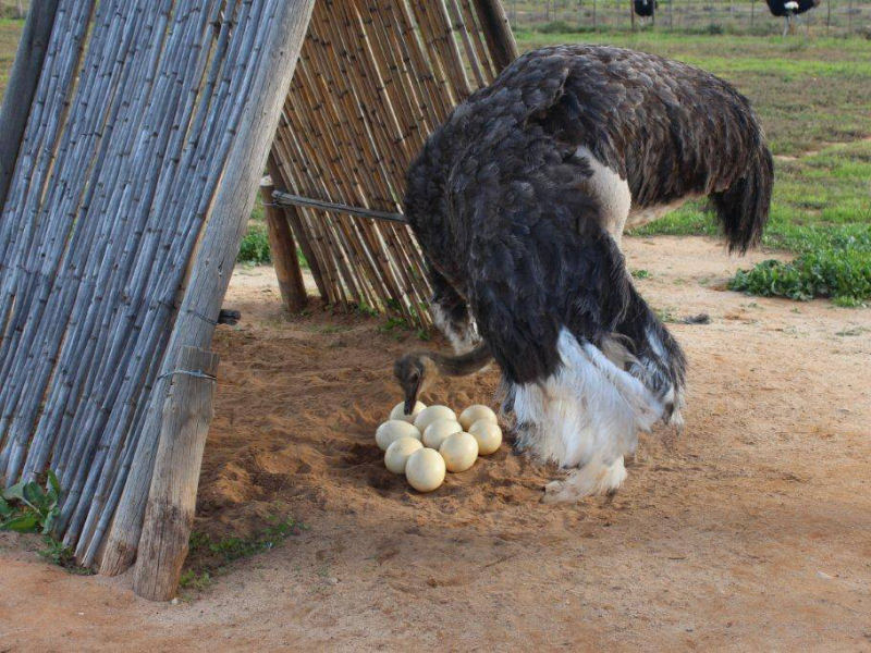 Visit to an ostrich farm in Oudtshoorn
